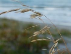 Summer Dune Grasses